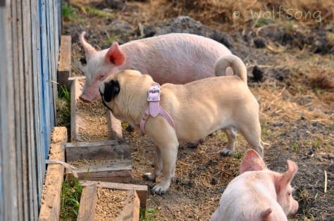 Mini troughs are the perfect height for piggies...and puggies!