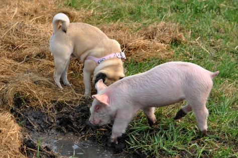 Playing in the wallow together...
